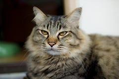 Νέα περσική γάτα Στοκ Φωτογραφία