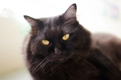 Νέα περσική γάτα Στοκ εικόνα με δικαίωμα ελεύθερης χρήσης