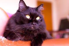 Νέα περσική γάτα Στοκ Φωτογραφίες