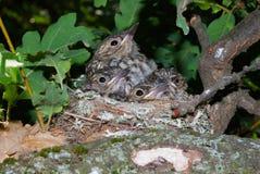 Νέα πουλιά στη φωλιά Στοκ Εικόνες