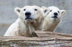 Νέα πολική αρκούδα με τη μητέρα Στοκ Φωτογραφίες