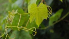 Νέα πράσινα φύλλα αμπέλων σταφυλιών στον αέρα μια βροχερή ημέρα φιλμ μικρού μήκους