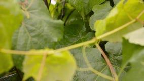 Νέα πράσινα φύλλα αμπέλων σταφυλιών στον αέρα μια βροχερή ημέρα απόθεμα βίντεο