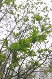 Νέα πράσινα φύλλα στο deov στη Σιβηρία στοκ εικόνες