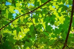 Νέα πράσινα φύλλα σφενδάμου Πράσινη ανασκόπηση Στοκ φωτογραφία με δικαίωμα ελεύθερης χρήσης