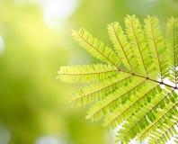Νέα πράσινα φύλλα Resh που καίγονται στον ήλιο & πράσινα φύλλα Στοκ φωτογραφία με δικαίωμα ελεύθερης χρήσης