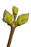 Νέα πράσινα φύλλα στον κλάδο στοκ εικόνες με δικαίωμα ελεύθερης χρήσης