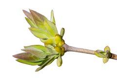 Νέα πράσινα φύλλα στον κλάδο στοκ εικόνα