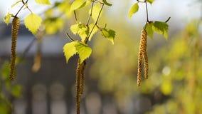 Νέα πράσινα φύλλα του δέντρου σημύδων την πρώιμη άνοιξη φιλμ μικρού μήκους
