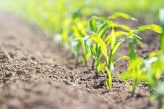 Νέα πράσινη ανάπτυξη καλαμποκιού στον τομέα το καλαμπόκι οι νεολαίες στοκ φωτογραφία με δικαίωμα ελεύθερης χρήσης