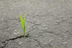 Νέα πράσινη ανάπτυξη νεαρών βλαστών από τη ρωγμή στην άσφαλτο Στοκ Εικόνες