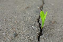 Νέα πράσινη ανάπτυξη νεαρών βλαστών από τη ρωγμή στην άσφαλτο Στοκ Φωτογραφία