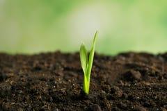Νέα πράσινη ανάπτυξη νεαρών βλαστών στον κήπο Στοκ Φωτογραφίες