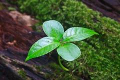 Νέα πράσινη ανάπτυξη νεαρών βλαστών από το νεκρό κούτσουρο Στοκ Φωτογραφία