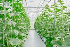 Νέα πράσινη ανάπτυξη πεπονιών ή πεπονιών στο θερμοκήπιο Στοκ φωτογραφίες με δικαίωμα ελεύθερης χρήσης