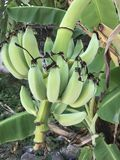 Νέα πράσινη μπανάνα στο δέντρο Στοκ Φωτογραφίες