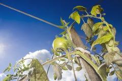 Νέα πράσινη ντομάτα Στοκ φωτογραφία με δικαίωμα ελεύθερης χρήσης