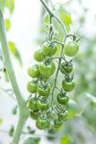 Νέα πράσινη οργανική ντομάτα κερασιών πέρα από το θολωμένο υπόβαθρο κήπων ντοματών Στοκ Εικόνες