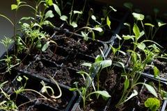 Νέα πράσινη προσιτότητα νεαρών βλαστών για τον ήλιο στοκ εικόνες