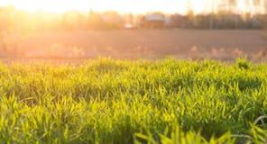 Νέα πράσινη χλόη στον τομέα στις ακτίνες του ήλιου ρύθμισης Στοκ φωτογραφίες με δικαίωμα ελεύθερης χρήσης