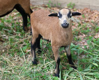 Νέα πρόβατα του Καμερούν Στοκ φωτογραφία με δικαίωμα ελεύθερης χρήσης