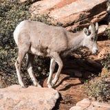 Νέα πρόβατα bighorn στοκ φωτογραφία