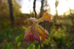 Νέα δρύινα φύλλα ανοίξεων Στοκ Εικόνα