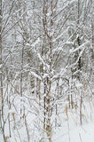 Νέα σημύδα στο δάσος Στοκ Φωτογραφίες
