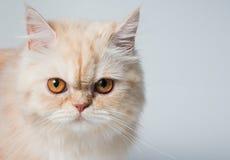 Νέα σιαμέζα γάτα Στοκ Εικόνες