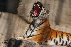 Νέα σιβηρική τίγρη, διαφορετικά γνωστή ως τίγρη Amur Στοκ Φωτογραφίες
