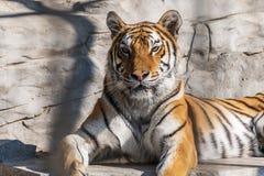 Νέα σιβηρική τίγρη, διαφορετικά γνωστή ως τίγρη Amur Στοκ εικόνα με δικαίωμα ελεύθερης χρήσης