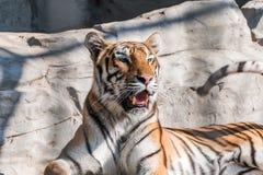 Νέα σιβηρική τίγρη, διαφορετικά γνωστή ως τίγρη Amur Στοκ Εικόνες
