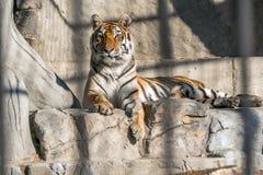 Νέα σιβηρική τίγρη, διαφορετικά γνωστή ως τίγρη Amur Στοκ φωτογραφία με δικαίωμα ελεύθερης χρήσης