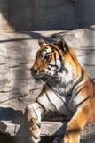 Νέα σιβηρική τίγρη, διαφορετικά γνωστή ως τίγρη Amur Στοκ φωτογραφίες με δικαίωμα ελεύθερης χρήσης