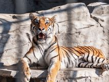 Νέα σιβηρική τίγρη, διαφορετικά γνωστή ως τίγρη Amur Στοκ Φωτογραφία