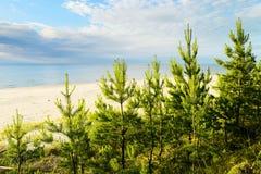 Νέα σκωτσέζικα ή σκωτσέζικα δέντρα sylvestris πεύκων πεύκων που αυξάνονται στους αμμόλοφους κοντά στη θάλασσα της Βαλτικής Στοκ Εικόνα