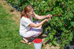 Νέα σμέουρα επιλογής γυναικών στην επιλογή ένα αγρόκτημα μούρων στη Γερμανία Στοκ Εικόνες