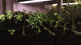 Νέα σπορόφυτα που αυξάνονται στα δοχεία που τίθενται στις σειρές Καλλιέργεια εγκαταστάσεων στο θερμοκήπιο απόθεμα βίντεο