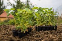 Νέα σπορόφυτα φραουλών στο πλαστικό δοχείο στον κήπο Στοκ φωτογραφία με δικαίωμα ελεύθερης χρήσης