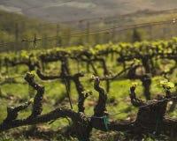 Νέα σταφύλια κρασιού που αυξάνονται την άνοιξη στοκ εικόνα