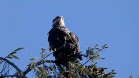 Νέα συνεδρίαση αετών στην κορυφή του δέντρου πεύκων απόθεμα βίντεο