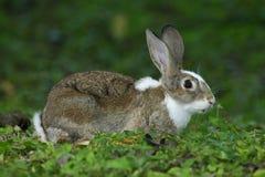 Νέα συνεδρίαση κουνελιών με τα αυτιά κούτσουρων στο φυσικό βιότοπο, πράσινη χλόη Στοκ φωτογραφία με δικαίωμα ελεύθερης χρήσης