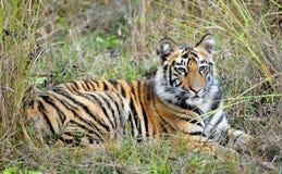Νέα τίγρη της Βεγγάλης στο φυσικό βιότοπο Η ινδική) τίγρη Panthera Τίγρης Τίγρης της Βεγγάλης ( Στοκ Φωτογραφία