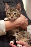 Νέα τιγρέ γάτα Στοκ Φωτογραφία