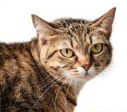 Νέα τιγρέ γάτα Στοκ φωτογραφίες με δικαίωμα ελεύθερης χρήσης