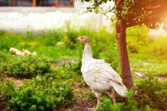 νέα Τουρκία σε ένα αγρόκτημα στοκ φωτογραφίες