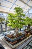 Νέα Υόρκη, Νέα Υόρκη/ΗΠΑ - τον Απρίλιο του 2016: έκθεση μπονσάι στο βοτανικό κήπο του Μπρούκλιν Κομψό δέντρο μπονσάι σε μια ξύλιν Στοκ Φωτογραφία