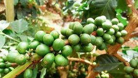 Νέα φασόλια καφέ στη φυτεία καφέδων Στοκ Φωτογραφίες