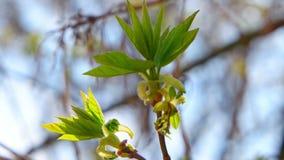 Νέα φρέσκα φύλλα άνοιξη πάνω από το τίναγμα κλάδων δέντρων φιλμ μικρού μήκους