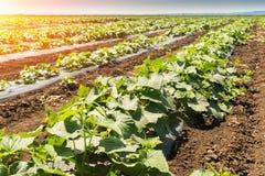 Νέα φρέσκια φυτεία αγγουριών - καλλιέργεια των αγγουριών στο FI Στοκ Εικόνες